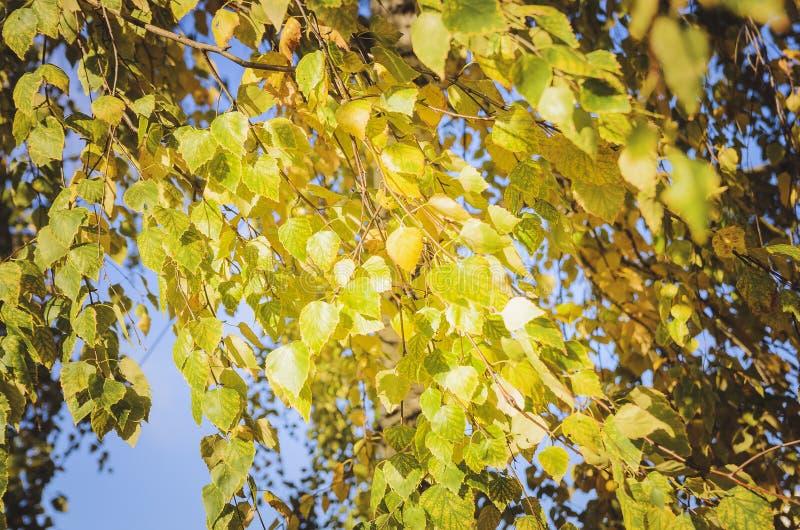 outono no parque: folhas douradas da árvore de vidoeiro na luz solar Fundo natural bonito do outono imagens de stock