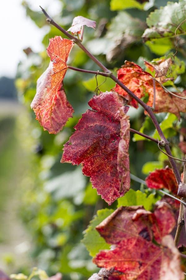 outono no vinhedo com as folhas da videira de Clolorful fotos de stock