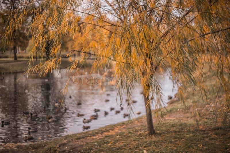 outono parque de jardinagem lago folhas amarelas dia fotografia de stock royalty free