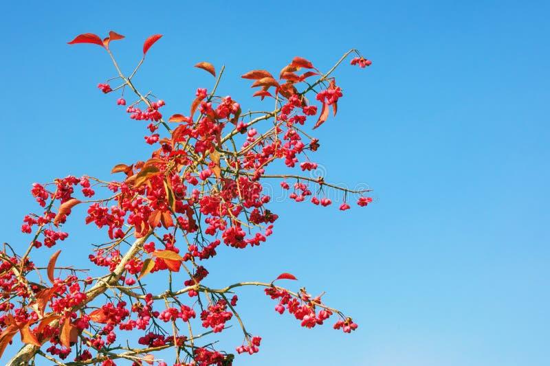 outono Ramo decorativo com as folhas e frutos vermelhos brilhantes contra o céu azul no dia ensolarado Eixo europeu imagens de stock