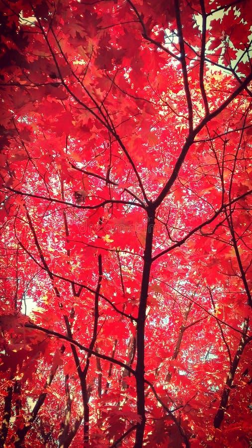 Outono vermelho imagens de stock