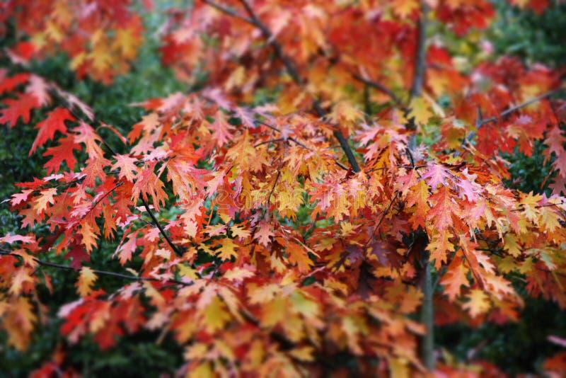 outono vermelho no jardim foto de stock