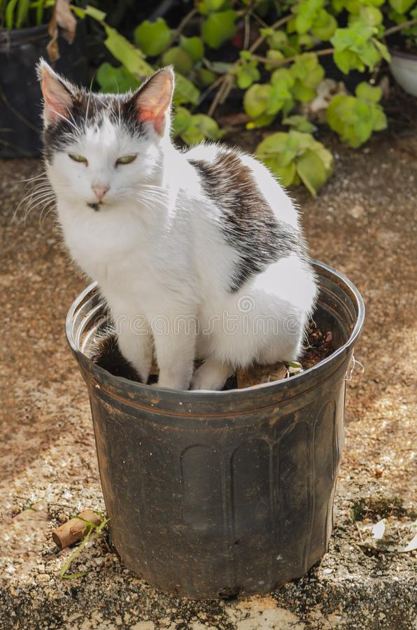 Lovable Cat In Flower Pot. Outside in the bright sunlight, on a concrete pavement, a lovable black and white domestic short-short-haired pet cat sits in a dirty royalty free stock images