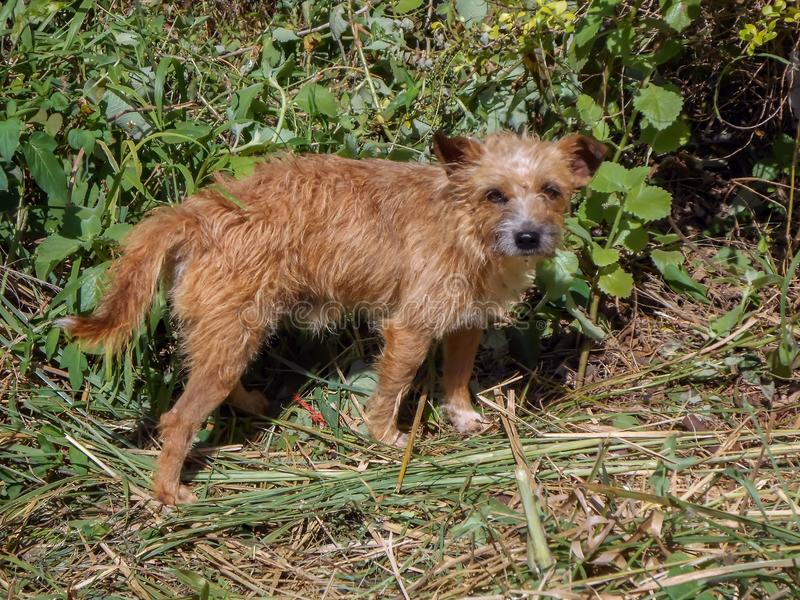 Light Brown Terrier Dog Outdoor stock photography