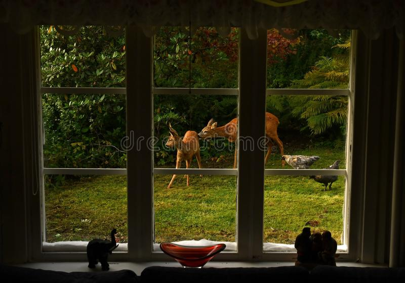Outside the window stands a deer female, with her baby stock photos