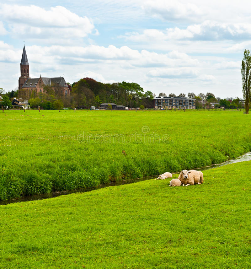 Outskirts. Sheep Grazing Outskirts of Dutch Town stock photography