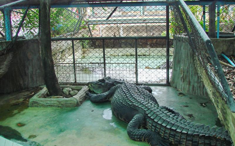 Outskirts of Bangkok city. Thailand. Dangerous show with Asian crocodiles. The impressive size of the Asian crocodile surprises visitors to the zoo royalty free stock photography