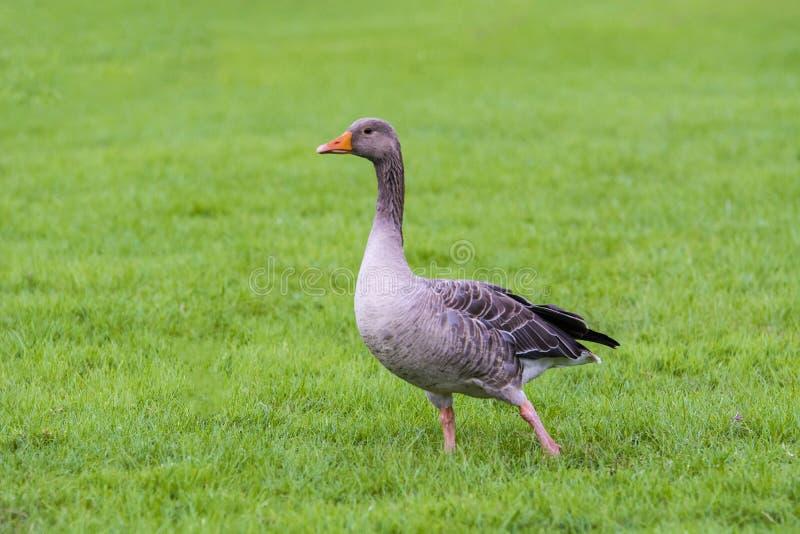 British pastoral scenery stock photo