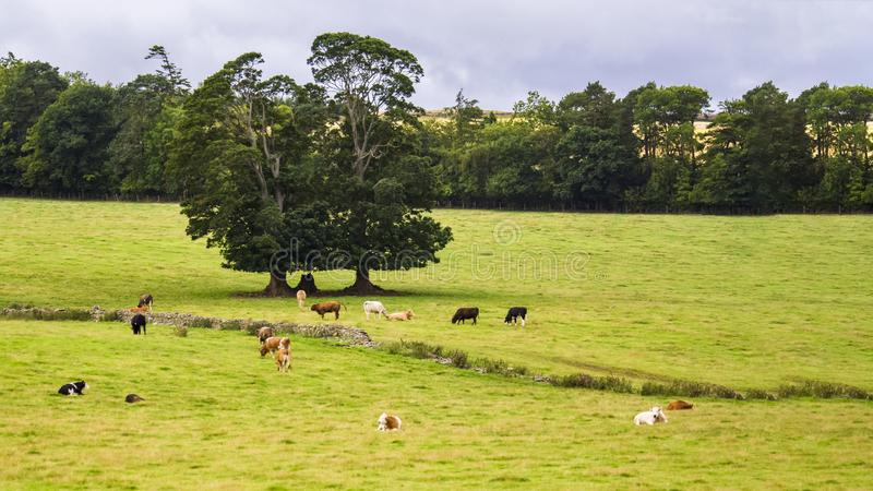 British pastoral scenery. In the outskirts of many British towns, the green trees are forested, the green grass is shaded, the cattle and sheep are in groups stock photos