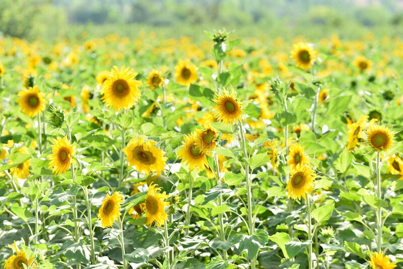 Outstanding sunflower seds royalty free stock photography