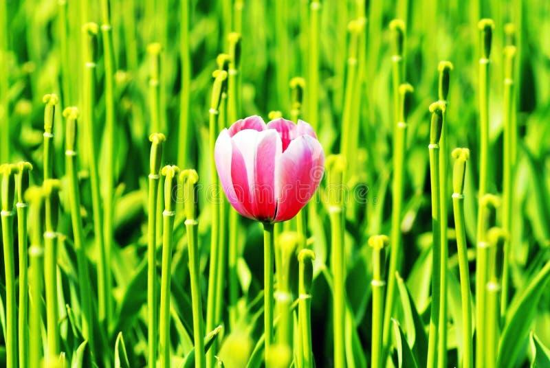 Outstanding Tulip Stock Photography
