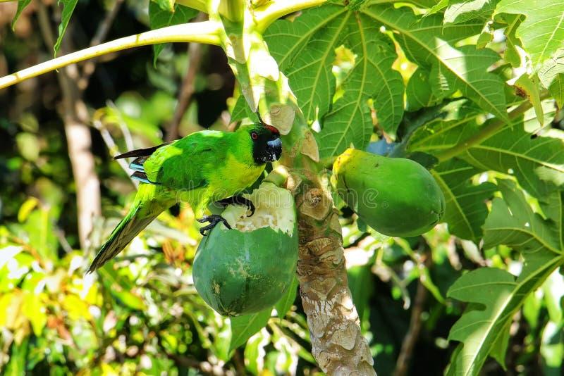 Ouvea parakeet eating papaya on Ouvea Island, Loyalty Islands, New Caledonia. Ouvea parakeet (Eunymphicus uvaeensis) eating papaya on Ouvea Island royalty free stock images