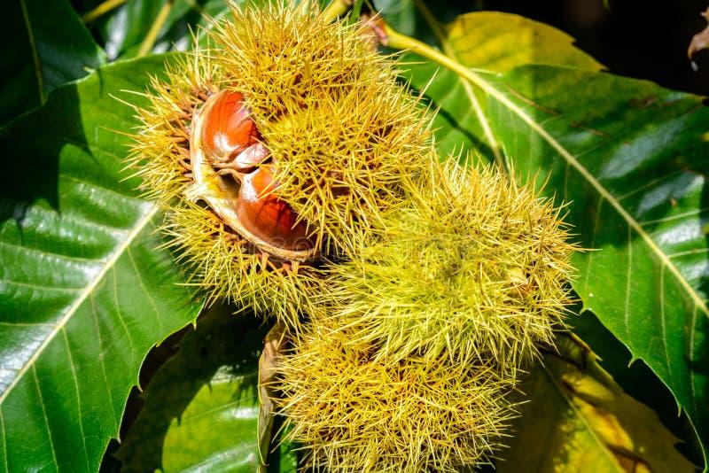 Ouverture de châtaignier sur l'arbre Castanea sativa photographie stock