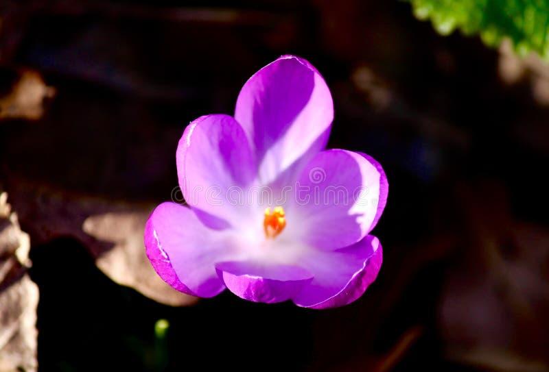 Ouverture pourpre de fleur avec le bourgeon jaune et le blanc à l'intérieur photo libre de droits