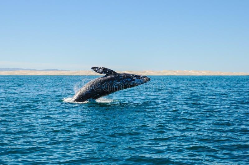 Ouvrant une brèche les baleines grises (robustus d'Eschrichtius) photos stock