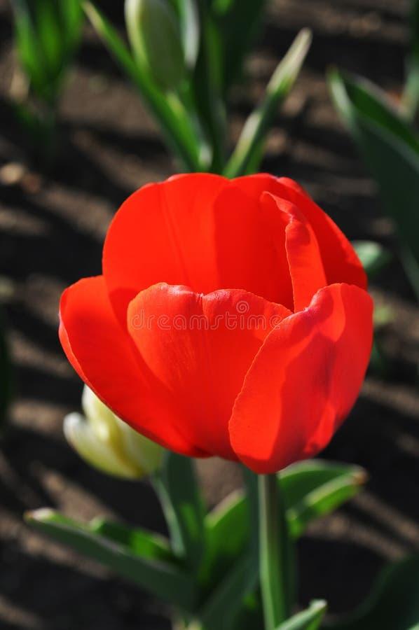 Ouvrez légèrement la tulipe images stock