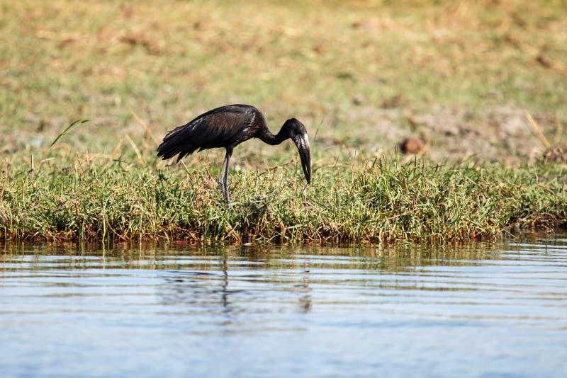 Ouvrez la cigogne affichée - rivière de Chobe, Botswana, Afrique photographie stock