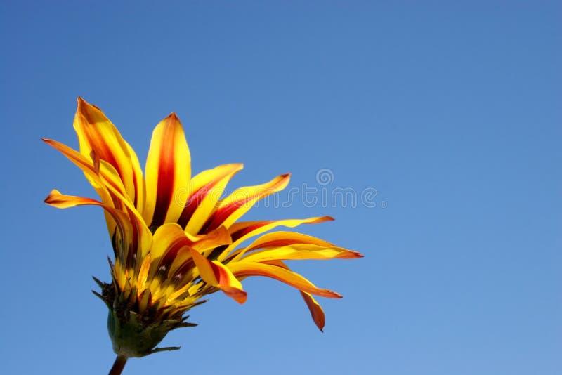 Ouvrez la fleur photo libre de droits