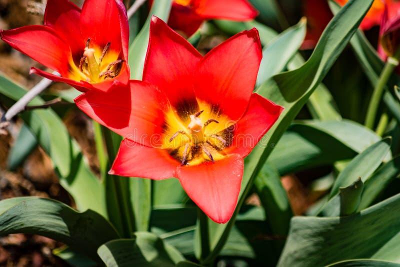 Ouvrez la tulipe rouge image stock
