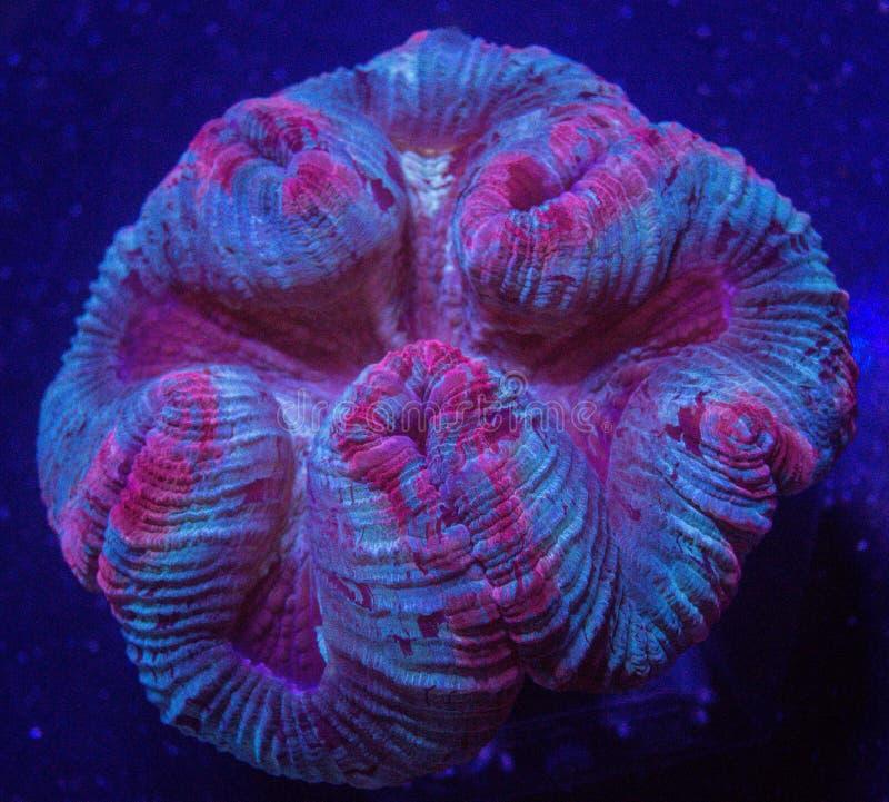 Ouvrez le corail de cerveau photos libres de droits