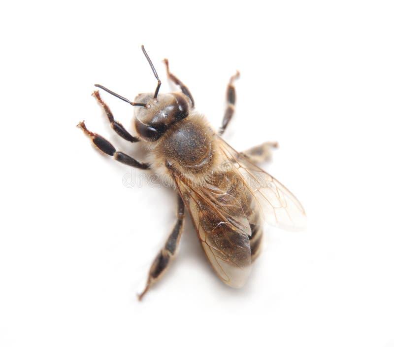ouvrier d'abeille photos stock