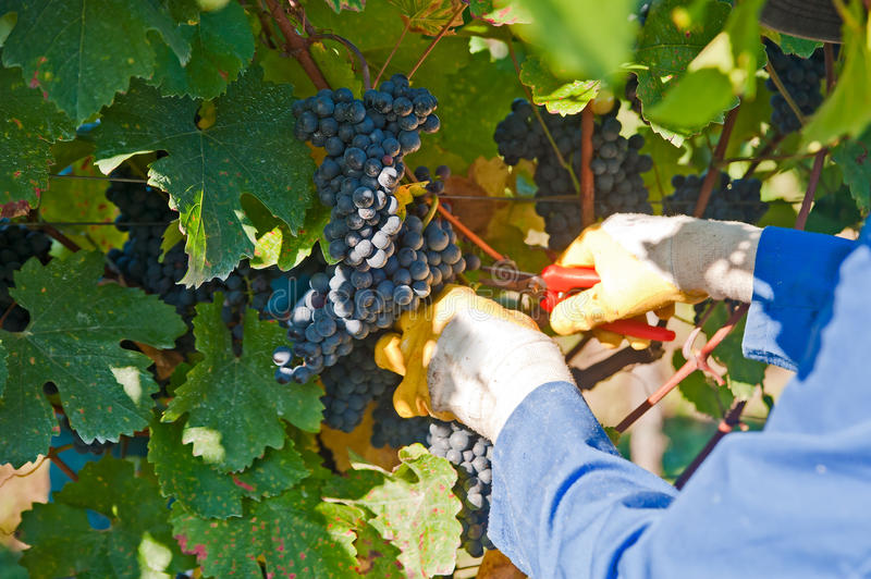 Ouvrier dans la vigne photographie stock
