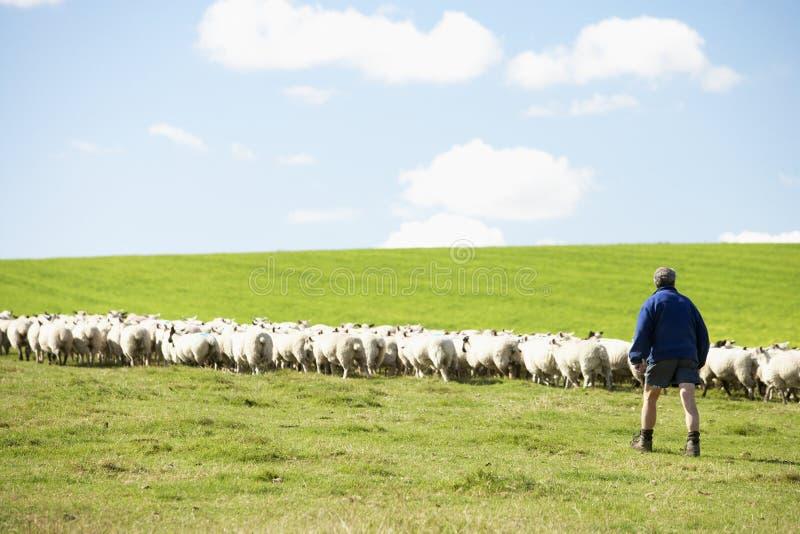 Ouvrier de ferme avec la bande de moutons photo libre de droits