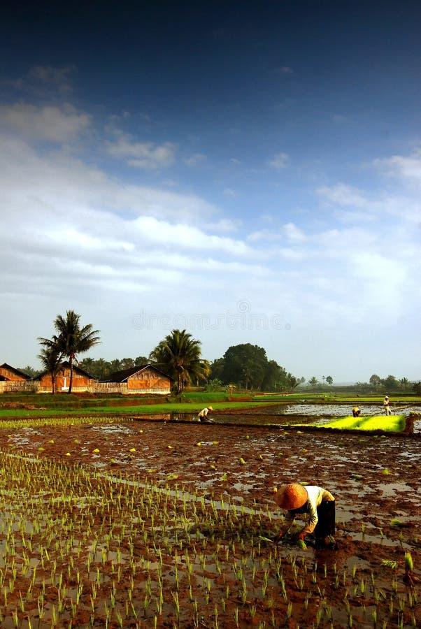 Ouvrier de gisement de riz photo stock
