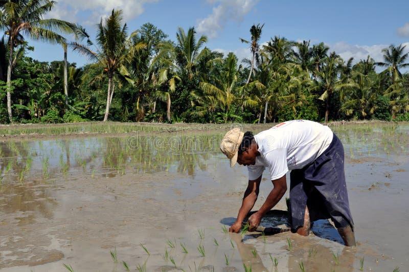 Ouvrier de riz images libres de droits
