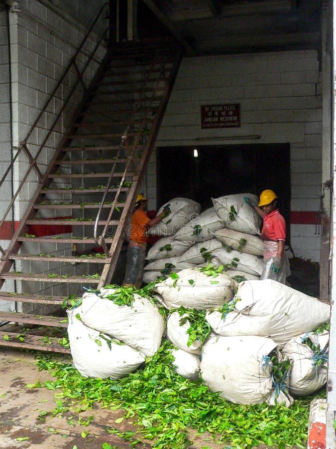 Ouvrier de thé photographie stock libre de droits