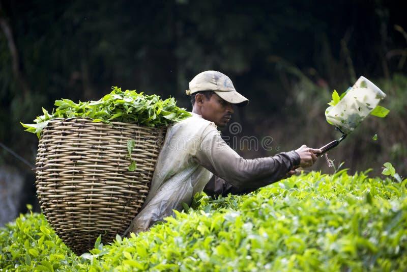 Ouvrier moissonnant des feuilles de thé photos stock