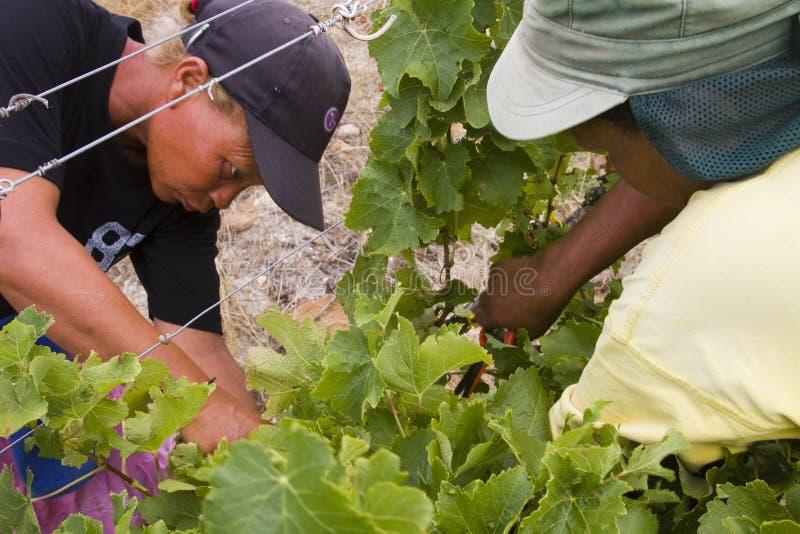 Ouvriers féminins de ferme moissonnant des raisins image libre de droits