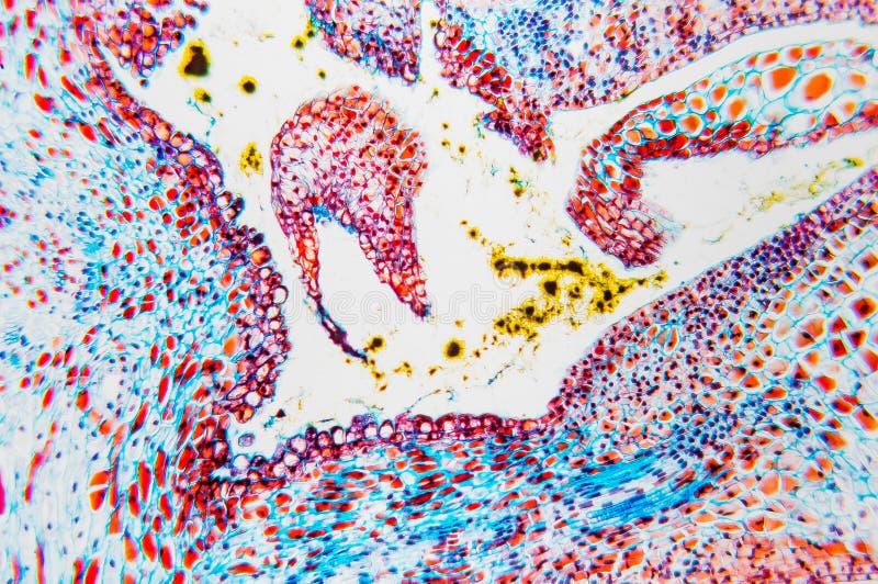 Ovário microscópico da flor da pilha fotografia de stock royalty free