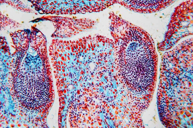Ovário microscópico da flor da pilha imagem de stock