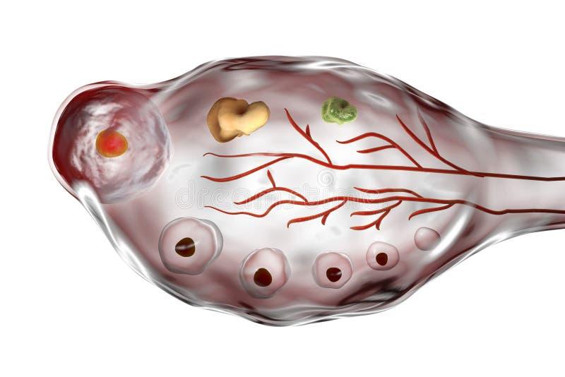 Ovaire humain avec des follicules illustration libre de droits