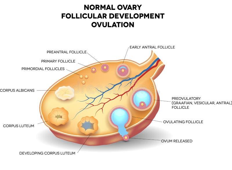 Ovaire normal, développement folliculaire et ovulation illustration libre de droits