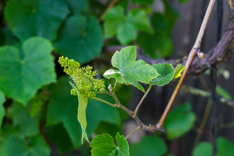 Ovaires verts des raisins fleurissants dans le jardin photos libres de droits