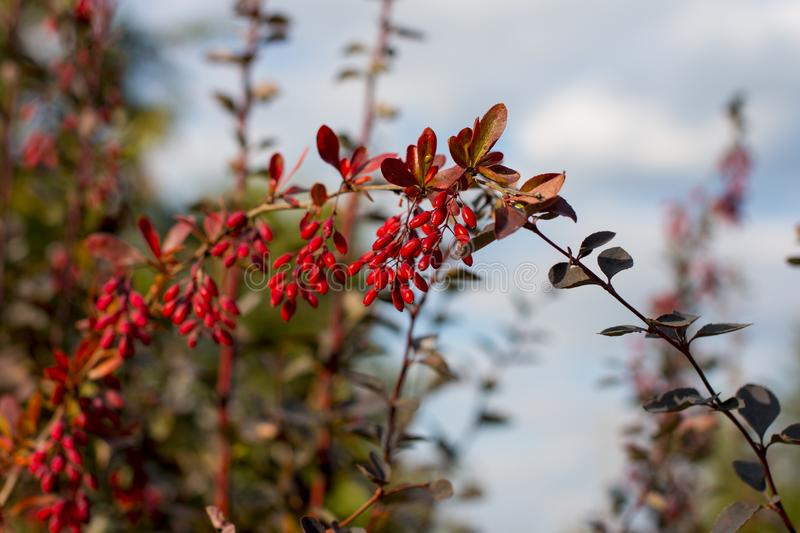 The oval red berries of the barberry. Red Barberry royalty free stock images