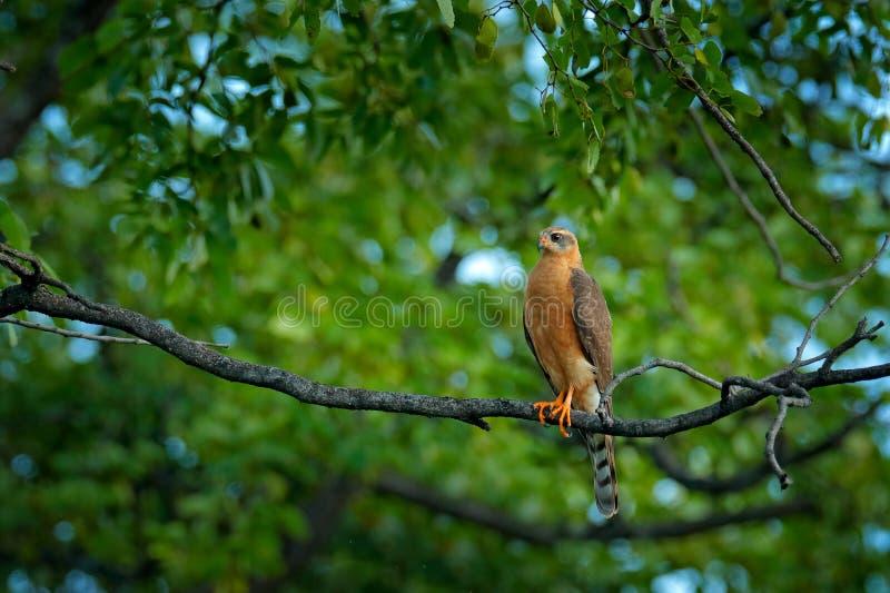 Ovambo giovanile Sparrowhawk, ovampensis del Accipiter, sedentesi sul ramo nelle rapaci della foresta nell'habitat della natura,  immagine stock libera da diritti