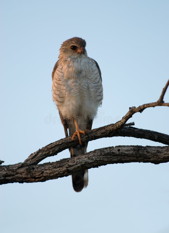 Ovambo Sparrowhawk foto de stock