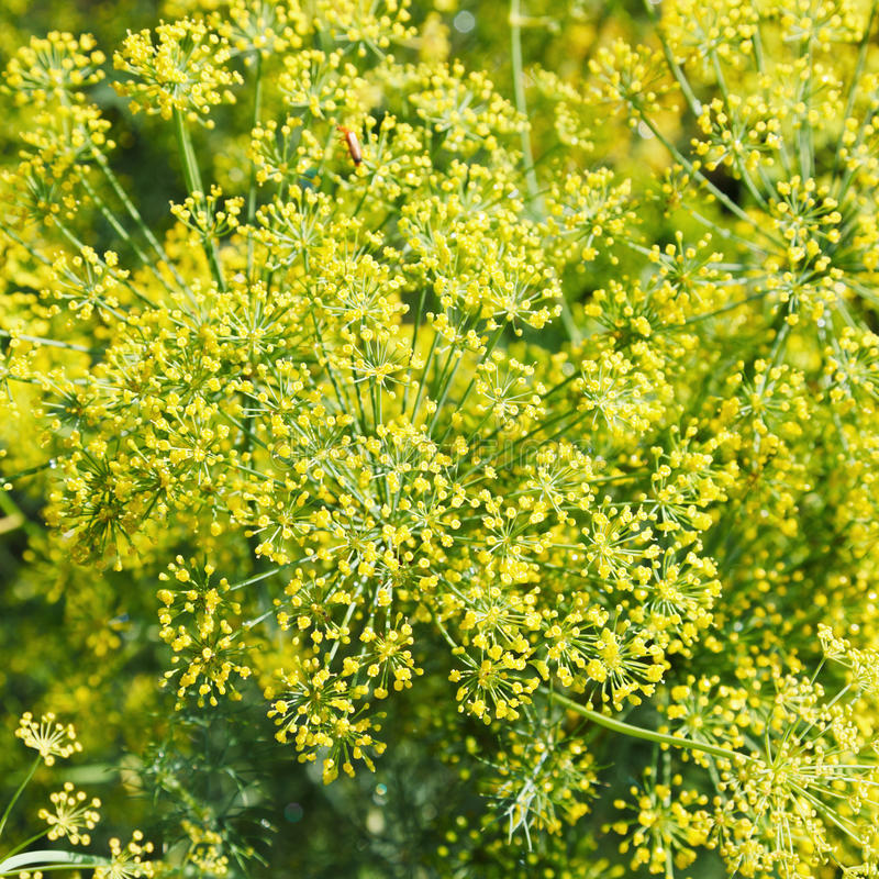 Ovanför sikt av gula blommor på blommande dill royaltyfri bild