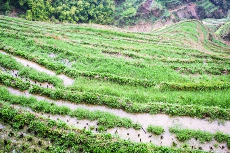 ovanför sikt av ris bäddar ned på terrasserat fält arkivbild