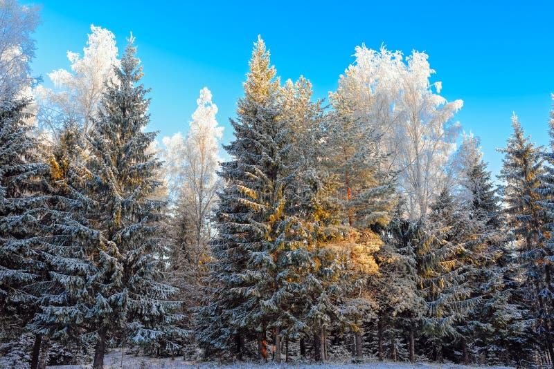 ovanför skogliggande skjuten snowtreesvinter arkivfoton