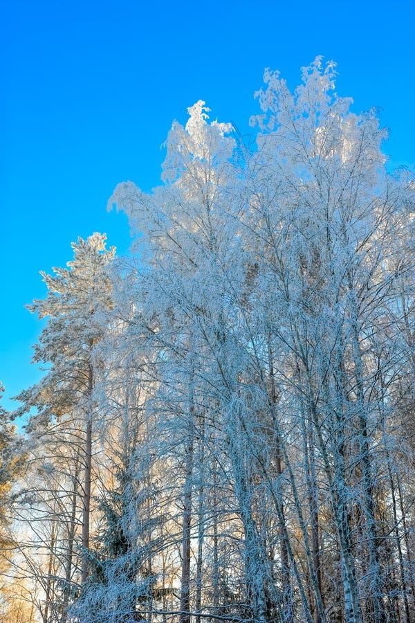 ovanför skogliggande skjuten snowtreesvinter fotografering för bildbyråer