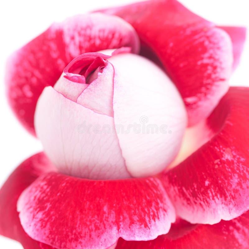 Ovanlig härlig röd ros royaltyfria bilder