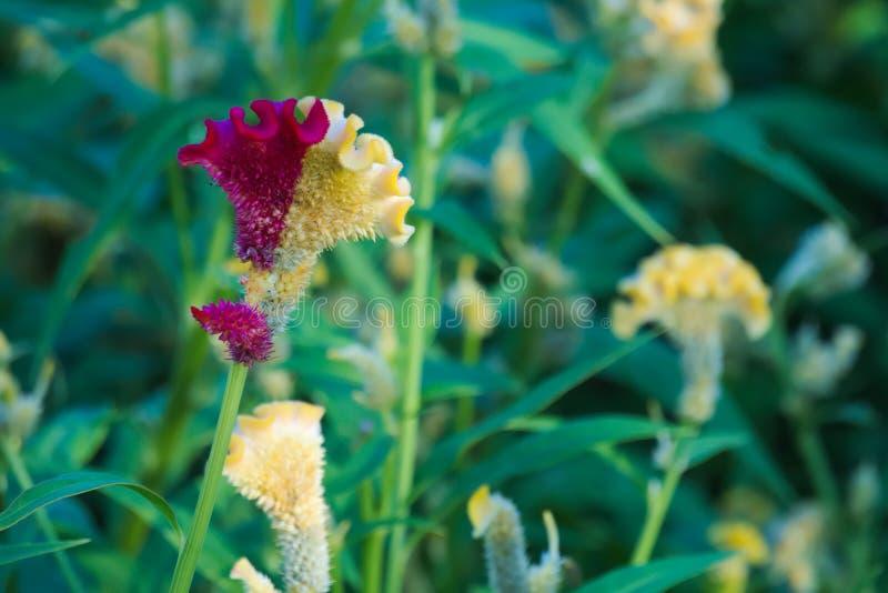 Ovanligast, mest härlig halv guling, halvt växa för den burgundy blomman i en thailändsk trädgård parkerar royaltyfri foto