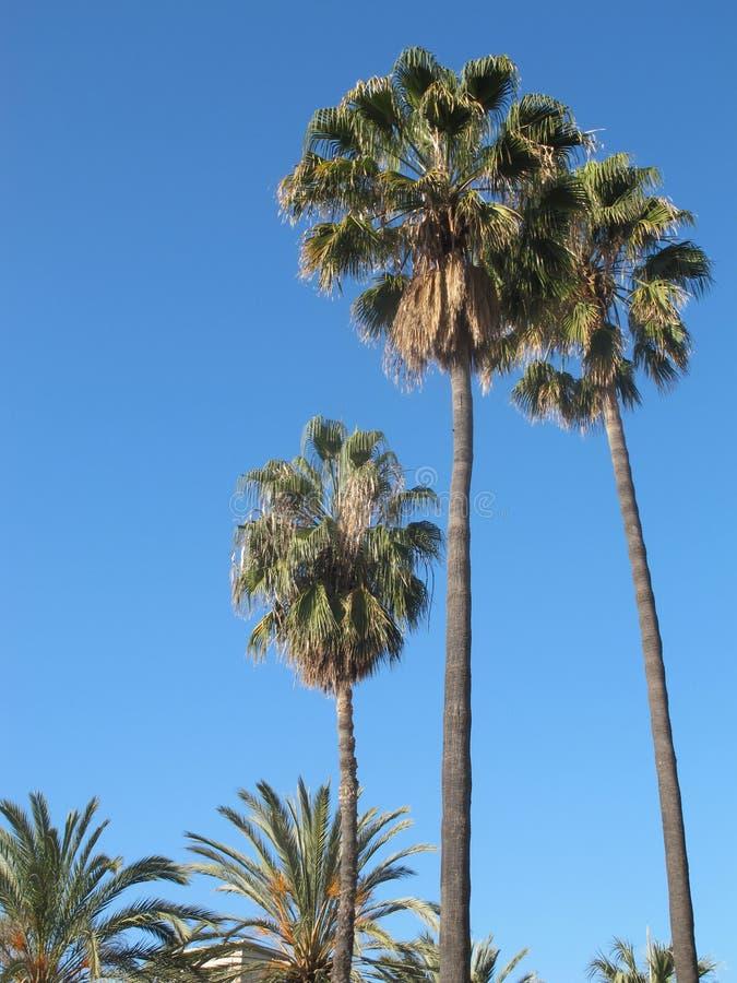 Ovanligt härliga och högväxta palmträd royaltyfri foto