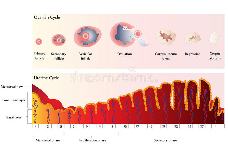 Ovarian and Uterine Cycle stock illustration