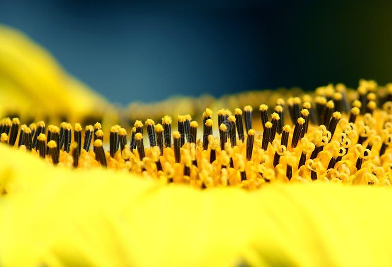 Ovario de las semillas de girasol imagen de archivo