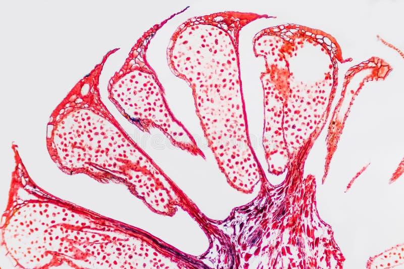 Ovario microscópico de la flor de la célula fotografía de archivo libre de regalías